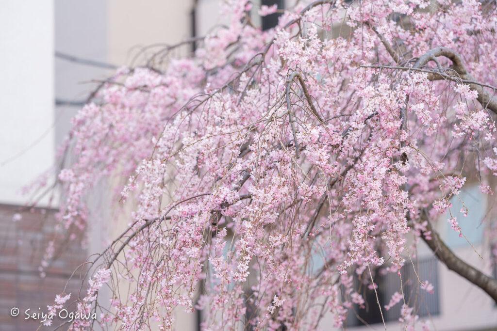 久地円筒分水周辺の桜