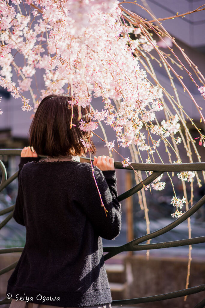 久地円筒分水周辺の桜ポートレート
